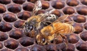 इंसानों की बनाई इस मधुमक्खी ने ली सैकड़ों की जान, जानें कैसे आई दुनिया में