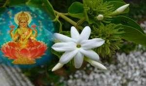 शुक्रवार को करें चमेली के फूल से ये उपाय, शुक्र दोष से निजात मिलने के साथ होगी हर इच्छा पूरी