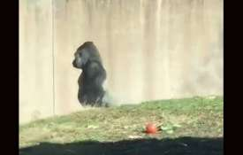 gorilla- Khabar IndiaTV