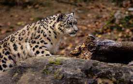 Leopard spotted on Kalka-Shimla heritage track and platform | Representational- India TV