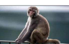 monkey- India TV
