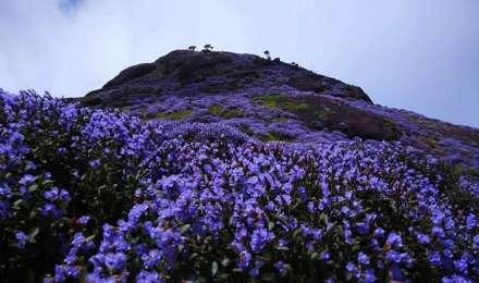 12 साल बाद खिले हैं नील कुरिंजी के फूल, 'बेस्ट प्लेस फॉर रोमांस' मुन्नार जाएं तो ये जगह जरूर घूमें