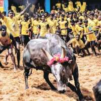 Jallikattu - India TV