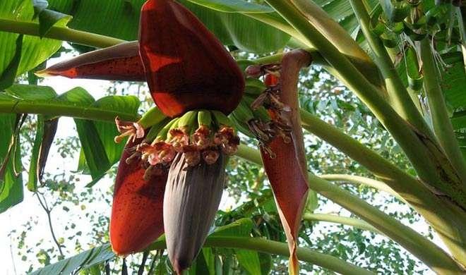 Image result for केले के फूल के फायदे