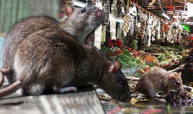 चूहा जिंदा या मुर्दा पकड़ कर लाओं और पाओं हजारों रुपए, जानिए कैसे - India TV