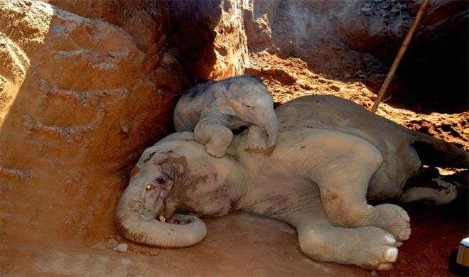असम:हर्बल एंड फूड पार्क में तीन जंगली हाथी गड्ढे में गिरने से घायल