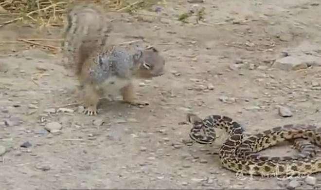 VIDEO: नेवले ने नहीं, गिलहरी ने किया शिकार सांप का - India TV