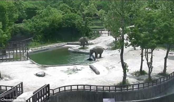 VIDEO: देखें कैसे बेबी हाथी को दो हाथियों ने डूबने से बचाया - India TV