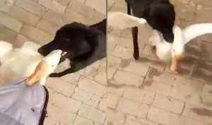 VIDEO: जब कुत्ते ने अपने मालिक को ग़ुस्सैल बत्तख़ से बचाया