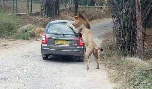 बेंगलुरु: जब SUV कार पर शेरों ने कर दिया हमला, वीडियो हुआ वायरल