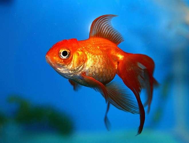 देखिए इस खूबसूरत सुनहरे रंग की मछली को।