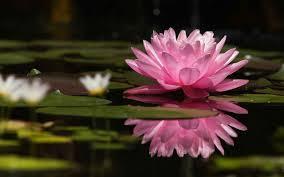 कमल का फूल