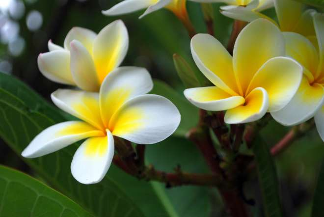 इस फूल का नाम फ्रांगीपनी फूल है।