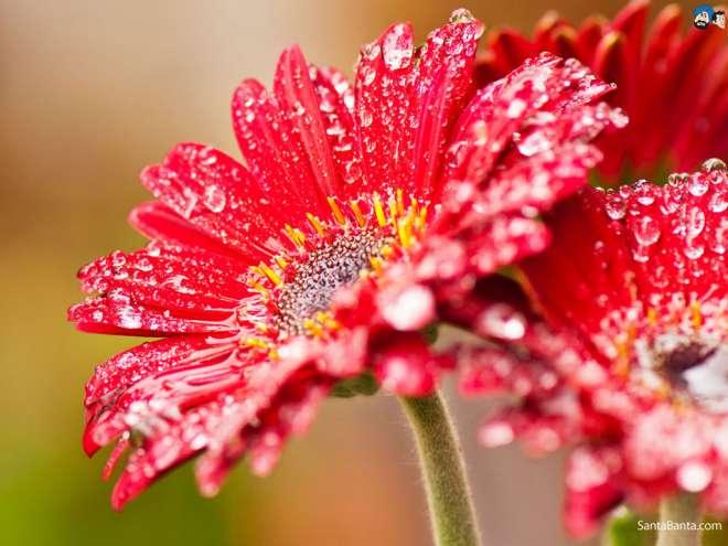 इस फूल पर पानी की बूंदे गिरने की वजह से यह बहुत खूबसूरत हो गया है।