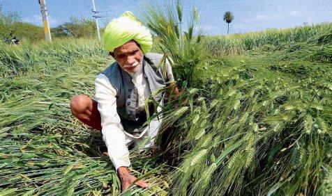 बेमौसम बारिश से किसानों को 20,000 करोड़ का नुकसान, गेहूं की फसल 40 फीसदी तक हुई बर्बाद- India TV Paisa