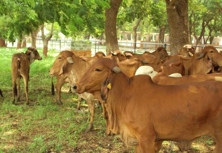 gir cow- India TV