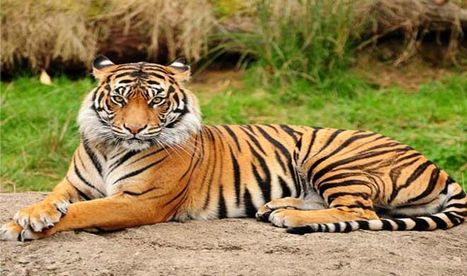 Tigress- India TV