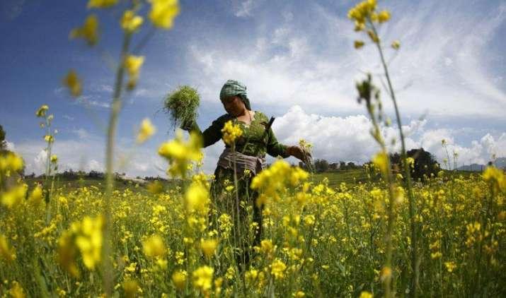 जीएम सरसों की फिलहाल नहीं होगी कॉमर्शियल खेती, सुप्रीम कोर्ट ने बढ़ाई रोक- IndiaTV Paisa