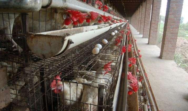 भारत को अंडा उत्पादन तीन गुना करने की जरूरत, सरकार ने कहा तभी कम होगा कुपोषण- IndiaTV Paisa