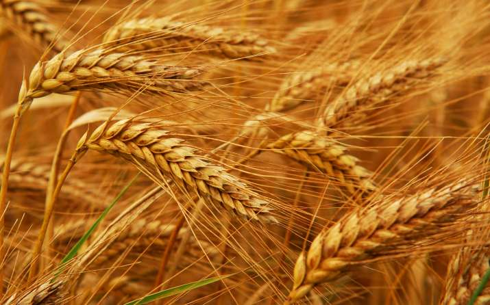 Wheat Procurement in Haryana- IndiaTV Paisa