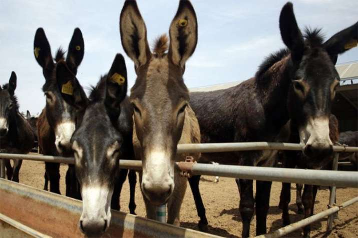 Donkeys are stolen and skinned in Africa to fulfil demand from China | AP- India TV