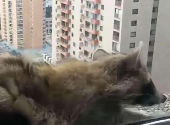 raccoon- India TV