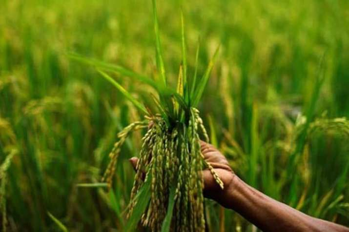 Cabinet likely to hike kharif MSP today- India TV Paisa