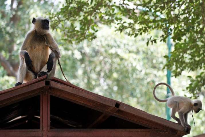 Monkey menace at VP's House venkaiah Naidu seeks...- India TV