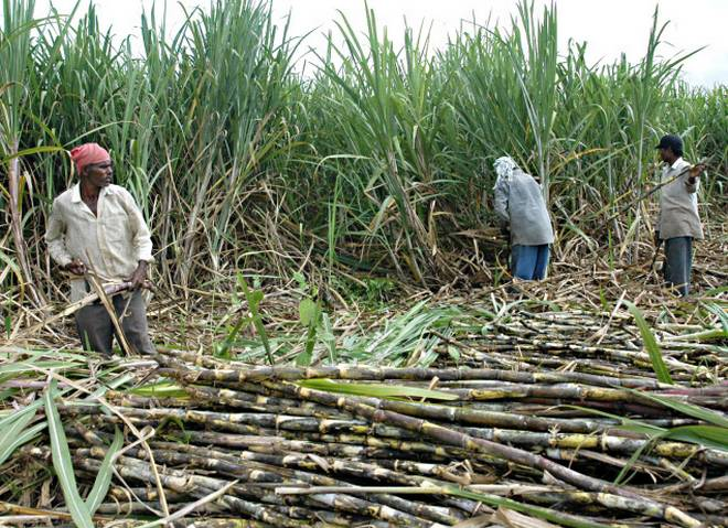 Sugarcane- India TV Paisa