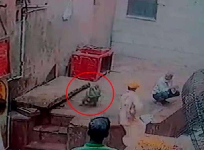 Monkey snatches snake from charmer at Vrindavan temple, Uttar Pradesh- India TV