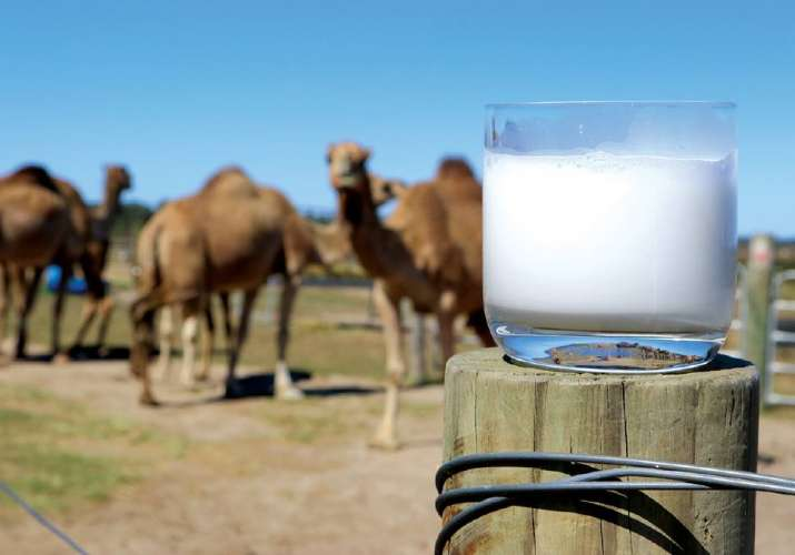 camel milk- India TV Paisa