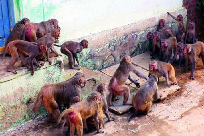 Monkey Fever- India TV
