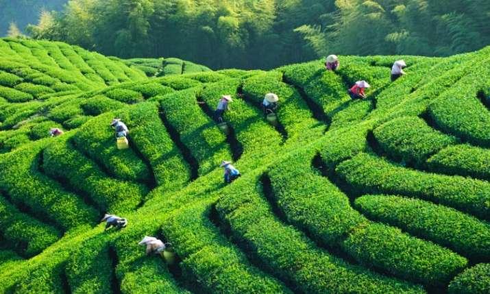 Tea Export- India TV Paisa