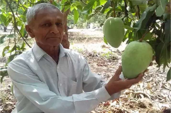 rare variety noorjahan single mango costs upto 1200 rupee know what is special- India TV Paisa