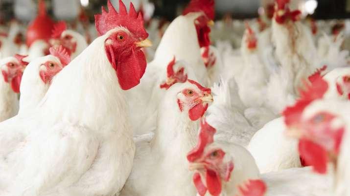 Wholesale chicken prices tank before Shravan- India TV Paisa