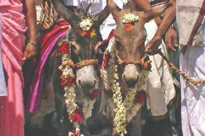 Donkey Wedding- India TV