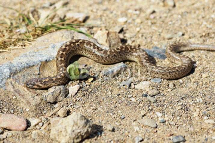 snake- India TV
