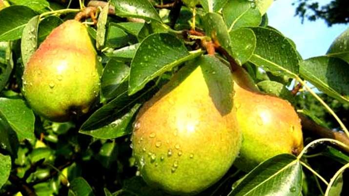 Pear- India TV