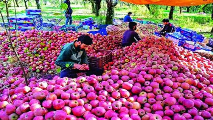 कश्मीर में सेब...- India TV