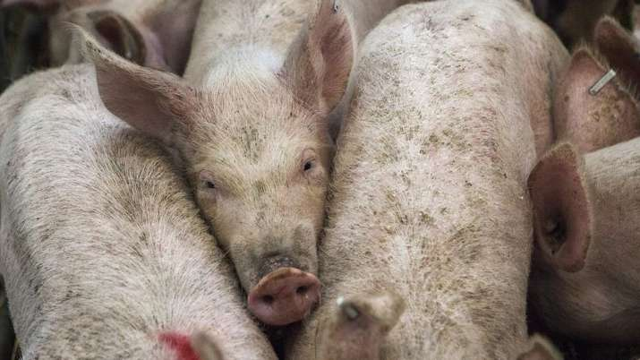 Philippines confirms African swine fever, culls 7000 pigs | AP - India TV