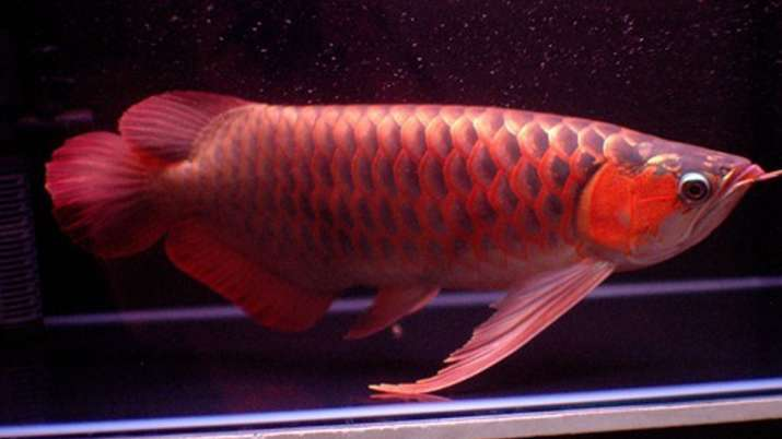 arowana fish- India TV