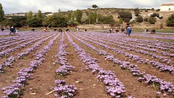 saffron cultivation- India TV Paisa