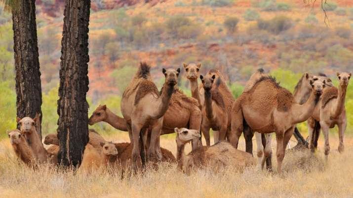 Camels- India TV