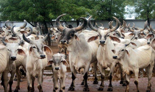 गौशाला में गायों के...- Khabar IndiaTV